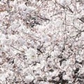 Thumbnail image for Chelsea flower show news, at peak blossom time in Gyeongsangsam-do