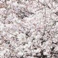 Thumbnail image for Chelsea flower show news, at peak blossom time in Gyeongsangsam-do